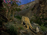 Long, muscular hind legs enable snow leopards to leap far Photographic Print by Steve Winter