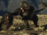 A Male Gelada with Fangs Bared Chases after One of His Family Females Photographic Print by Michael Nichols