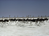 An ostrich troupe flies on its feet across Namibia's Etosha Pan Photographic Print by Des & Jen Bartlett