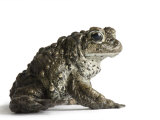 A boreal toad Photographic Print by Joel Sartore