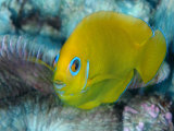 A lemonpeel angelfish shows itself in the lagoon at Kingman Reef Photographic Print by Brian J. Skerry