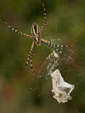 A spider with captured prey in its web Photographic Print by Jim Richardson