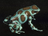 A green and black poison frog Photographic Print by Joel Sartore
