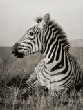 A Burchell's Zebra at Rest in the African Terrain Photographic Print by Carl E. Akeley