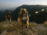 Morning Light Shines on Two Gelada Males Photographic Print by Michael Nichols
