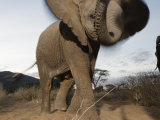 A young male elephant plays with a camera set on the ground Photographic Print by Michael Nichols
