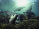 Australian sea lions swim in the waters of the Great Australian Bight Photographic Print by David Doubilet