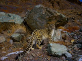 A remote camera captures an endangered snow leopard Photographie par Steve Winter