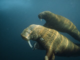 Two Pacific walruses swim together off the northwest coast of Alaska Photographic Print by Bill Curtsinger