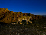 A snow leopard traverses a rocky slope Photographic Print by Steve Winter