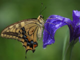 A butterfly resting on an iris flower Photographic Print by Michael S. Yamashita