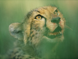 A Cheetah Cub with a Bloodstained Muzzle in the Okavango Delta Photographic Print by Chris Johns