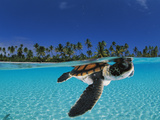 Baby green sea turtle swimming in a tropical paradise Lámina fotográfica por David Doubilet