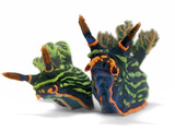 A pair of toxic Nembrotha kubaryana nudibranchs Photographic Print by David Doubilet