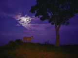 A Young Cheetah Prowls by Moonlight in the Okavango Delta Fotografisk tryk af Chris Johns