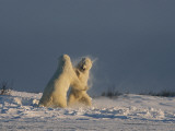 Two male polar bears playfully wrestle to help hone fighting skills Photographic Print by Norbert Rosing