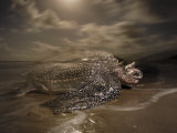 A leatherback turtle nesting on Matura Beach Photographic Print by Brian J. Skerry