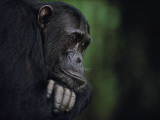Frodo is the alpha male in his family of Gombe chimpanzees Photographic Print by Michael Nichols