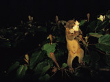 A kinkajou drinks deeply of balsa blossom nectar Photographic Print by Mattias Klum