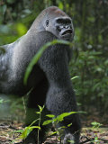 A gorilla knuckle-walks on arms as thick as tree limbs Photographic Print by Ian Nichols