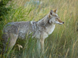 Portrait of a coyote, Canis latrans, in tall grasses Photographic Print by Michael Melford