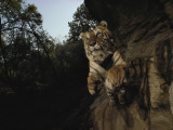 A remote camera captures a leaping tiger Photographic Print by Michael Nichols