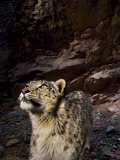 Low-light vision allows snow leopards to hunt in near total darkness Photographic Print by Steve Winter