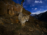 A snow leopard signals its presence by urinating beside his trail Photographic Print by Steve Winter