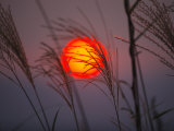 A setting sun seen through fringe of pampas grass Photographic Print by Michael S. Yamashita
