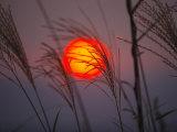 A setting sun seen through fringe of pampas grass Photographic Print by Michael S. Yamashita