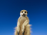 Insect Remains Hang on the Lips of a Meerkat, Long Claws Dig Up Bugs Photographic Print by Mattias Klum