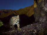 A remote camera captures an endangered snow leopard Photographic Print by Steve Winter