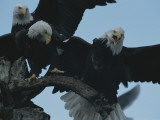 Northern American Bald Eagles Struggle for a Perch Lámina fotográfica por Norbert Rosing