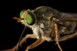 A Delhi Sands Flower-Loving Fly, Rhaphiomidas Terminatus Abdominalis. Fotografisk tryk af Joel Sartore
