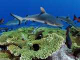 Gray reef sharks and red snappers hover above a patch of table coral Photographic Print by Brian J. Skerry