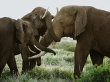 A bull elephant is met with embraces by a matriarch and her daughter. Photographic Print by Michael Nichols