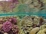 Hard coral carpets a shallow seafloor on Kingman Reef Fotografisk tryk af Brian J. Skerry