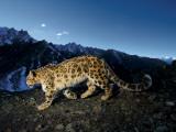 En sneleopard krydser en stenet skråning Fotografisk tryk af Steve Winter