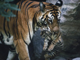 Indian tigress, Sita, moves her cubs to protect them from predators Photographic Print by Michael Nichols
