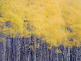 Fall colors of the quaking aspen trees along Lake Sherburne Photographic Print by Michael Melford