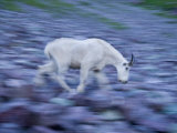 Male mountain goat along the trail to Sperry Glacier Photographic Print by Michael Melford
