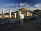 A donkey and reconstructed columns at the ruins of Herod's Palace Photographic Print by Michael Melford