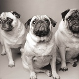 Three Pugs Print by Amanda Jones