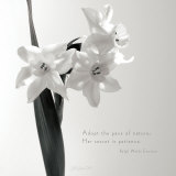 Daffodil Secrets Prints by Deborah Schenck