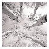 Silver Birch Premium Giclee-trykk av Adam Brock