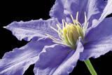 Violette Klematis Kunstdrucke von Amalia Veralli