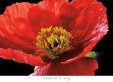 Roter Mohn Poster von Amalia Veralli