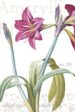 Amaryllis, no. 211 Prints by Pierre-Joseph Redouté