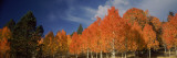 Low Angle View of Aspen Trees, Boulder Mountain, Utah, USA Photographic Print by  Panoramic Images