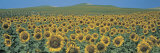 Sunflower Field Andalucia Spain Photographic Print by  Panoramic Images